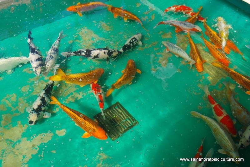 Voyage au japon octobre 2015 for Prix carpe vivante