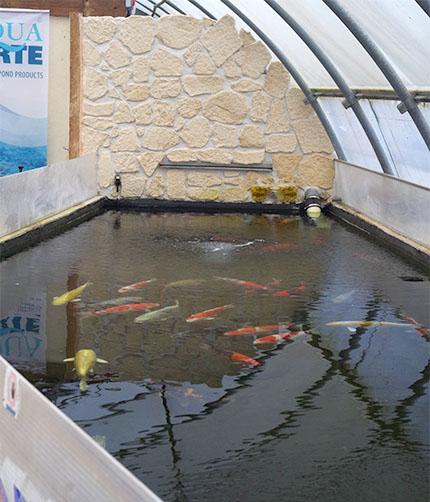 Un peu d histoire sur la pisciculture de saint morat for La carpe koi