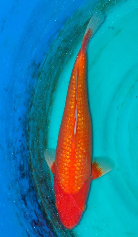 Saint morat pisciculture vente de carpe koi du japon for Vente de carpe koi