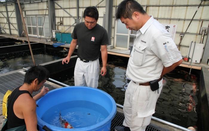 Voyage au japon pour trouver des carpes koi tateshita for Elevage carpe koi