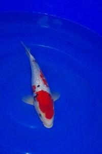 Saint morat pisciculture vente de carpe koi sanke for Vente de carpe koi
