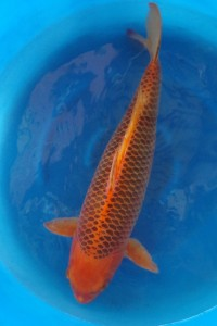 Saint morat pisciculture vente de carpe koi matsuba for Vente de carpe koi