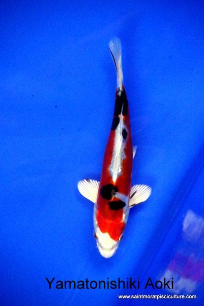 Yamatonishiki Aoki 1, carpe koi, bassin
