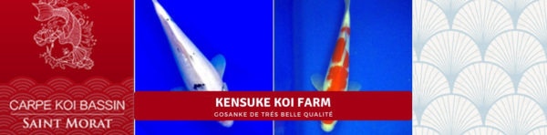 Kensuke koi farm