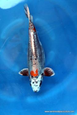 Carpe koi Beni kikokyryu sansai 50 cm femelle Ikarashi 1