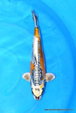 Carpe koi Ki Kikokyryu 40cm - Tanaka